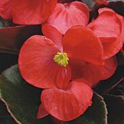 Begonia semp. Broumov F1 1/16g - 2
