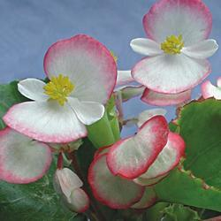 Begonia semp. Lučenec F1 1/16g - 2