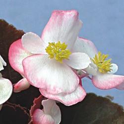 Begonia semp. Náchod F1 0,25g - 2