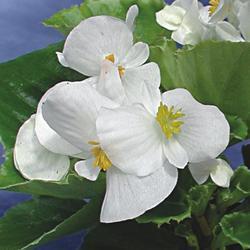 Begonia semp. Olomouc F1 1/16g - 2