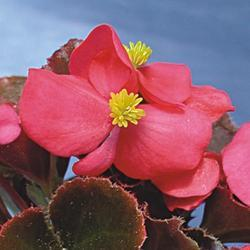 Begonia semp. Oreb F1 0,25g - 2