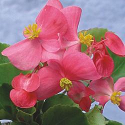 Begonia semp. Padolí F1 0,25g - 2