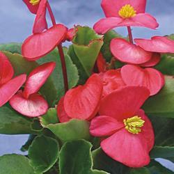 Begonia semp. Podkrkonoší F1 1/16g - 2