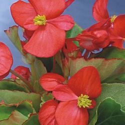 Begonia semp. Skalka F1 0,25g - 2