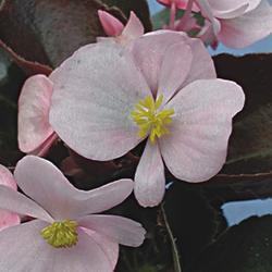 Begonia semp. Strahov F1 0,25g - 2