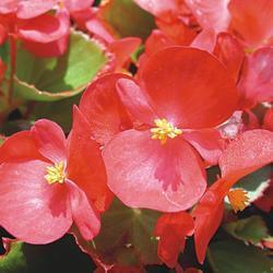 Begonia semp. Tango červená F1 2000s - 2