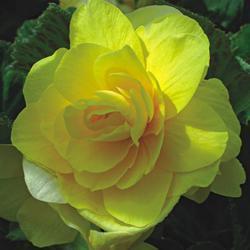 Begonia tuberhybrida Žlutá 1/16g - 2