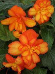 Begonia t. pendula Chanson Orange & Yellow F1  - 2