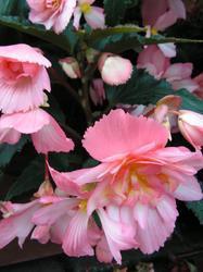 Begonia t. pendula Chanson růžovo-bílá F1 0,25g - 2