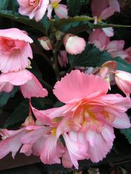 Begonia t. pendula Chanson růžovo-bílá F1 50 pelet - 2