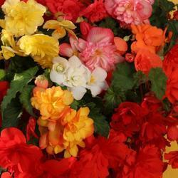 Begonia t. pendula Chanson směs F1 1/16g - 2