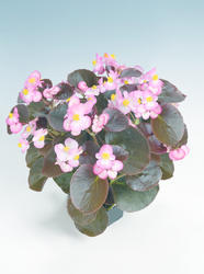 Begonia semp. Nightlife Blush F1 1000 pelet - 2