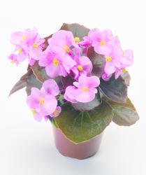 Begonia semp. Nightlife Pink F1 1000 pelet - 2