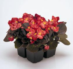 Begonia semp. Nightlife Red F1 1000 pelet - 2