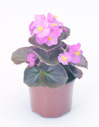 Begonia semp. Nightlife Rose F1 1000 pelet - 2