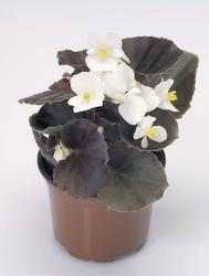Begonia semp. Nightlife White F1 1000 pelet - 2