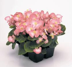 Begonia semp. Sprint Blush Improve F1 1000 pellets - 2