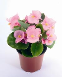 Begonia semp. Sprint Pink F1 1000 pelet - 2