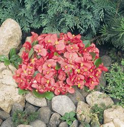Begonia semp. Sprint Rose F1 1000 pelet - 2