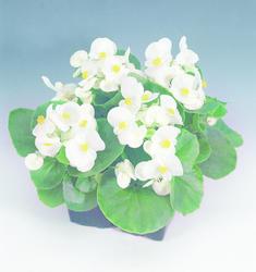 Begonia semp. Sprint White F1 1000 pelet - 2
