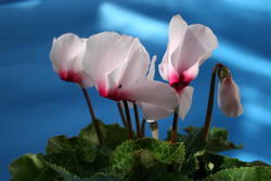 Cyclamen persicum White with red eye 100 seeds - 2