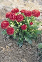 Bellis perennis Roggli červená 500s - 2