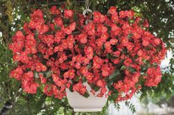 Begonia x b. Big® Red Bronze Leaf F1 200 pelet - 2
