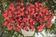 Begonia x b. Big® Red Bronze Leaf F1 200 pelet - 2/2