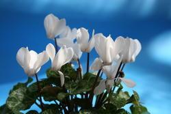 Cyclamen persicum mini Brigitte 100 seeds - 2
