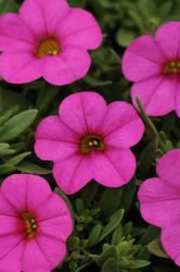 Calibrachoa Kabloom Deep Pink 100 pelet - 2