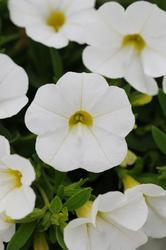 Calibrachoa Kabloom White 100 pelet - 2
