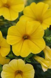 Calibrachoa Kabloom Yellow 100 pelet - 2
