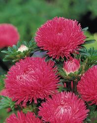 Callistephus chinensis Gala Carmine Rose 1000s - 2