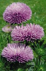 Callistephus chinensis Gala Lavender 1000s - 2