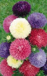 Callistephus chinensis Gala Mix 1000 seeds - 2
