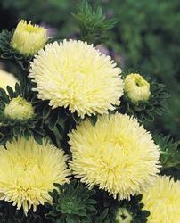 Callistephus chinensis Gala Yellow 1000s - 2