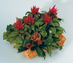 Celosia spicata Kosmo Purple Red 100s - 2
