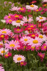 Chrysanthemum coccineum Robinsons Giant FM 1g - 2