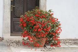 Begonia b. Copacabana červená F1 250 pelet - 2