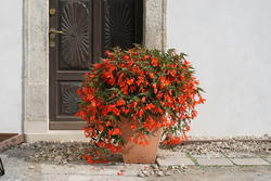 Begonia b. Copacabana oranžová F1 250 pelet - 2