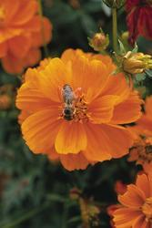 Cosmos sulphureus Cosmic Orange 100s - 2