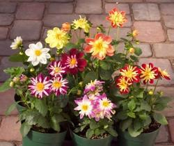 Dahlia variabilis Harlequin Mix 100s - 2