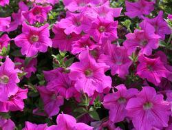 Petunia h. Diamond Rose Vein F1 50 pellets - 2