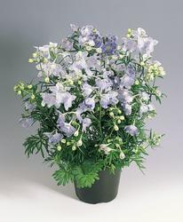 Delphinium grand. Summer Blues 250s - 2