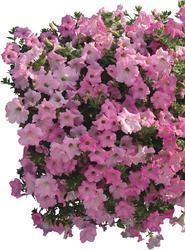 Petunia h. Diamond Pearly Shades F1 50 pellets - 2