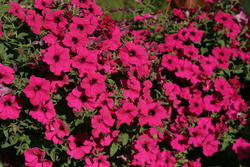 Petunia h. Diamond Purple F1 50 pellets - 2