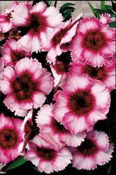 Dianthus Super Parfait Raspberry F1 200 pelet - 2