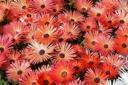 Dorotheanthus b. Gelato Formula Mix 1500 seeds - 2