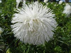Callistephus chinensis Nina 2g - 2