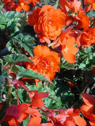 Begonia t. pendula Chanson měděná F1 1/16g - 2